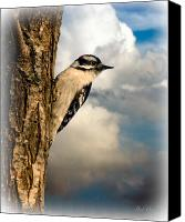 Animal Canvas Prints - Downy Woodpecker Canvas Print by Bob Orsillo