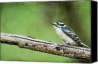 Downy Canvas Prints - Downy Woodpecker Canvas Print by Darren Fisher