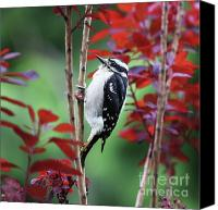 Downy Canvas Prints - Downy Woodpecker Canvas Print by Tania Morris