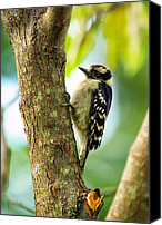 Downy Canvas Prints - Downy Woodpecker on Tree Canvas Print by Bill Tiepelman