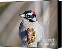 Downy Canvas Prints - Downy Woodpecker Canvas Print by Sharon  Talson