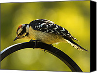 Downy Canvas Prints - Downy Woodpecker Up Close 3 Canvas Print by Bill Tiepelman