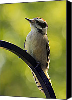 Downy Canvas Prints - Downy Woodpecker Up Close Canvas Print by Bill Tiepelman