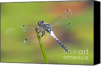 Invertebrate Canvas Prints - Dragonfly and Lily Pads Canvas Print by Clarence Holmes