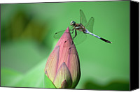 Lotus Bud Canvas Prints - Dragonfly And Lotus Bud Canvas Print by masahiro Makino