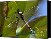 Meadowhawk Canvas Prints - Dragonfly Canvas Print by Erica Hanel