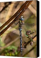 Dragon Photo Canvas Prints - Dragonfly Canvas Print by Gert Lavsen
