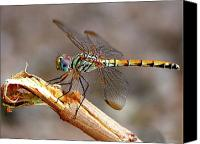 Saudi Canvas Prints - Dragonfly Canvas Print by Graham Taylor