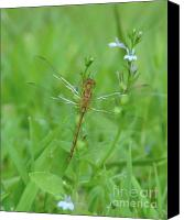 Dragonfly Canvas Prints - Dragonfly in the Grass Canvas Print by Kim Doran