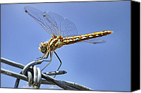 Barbed Wire Fences Canvas Prints - Dragonfly on Barbed Wire Canvas Print by Jason Politte