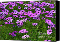 Floral Florals Canvas Prints - Dreaming of Purple Daisies  Canvas Print by Carol Groenen