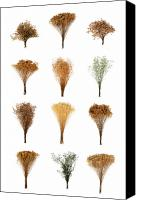 White Series Canvas Prints - Dried Flowers Collection Canvas Print by Olivier Le Queinec