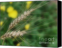 Peaceful Special Promotions - Dried Grass In Soft Focus Canvas Print by Smilin Eyes  Treasures