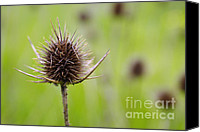 Backdrop Canvas Prints - Dried Thistle Canvas Print by Carlos Caetano