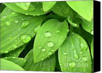 Vegetation Canvas Prints - Drops On Leaves Canvas Print by Carlos Caetano