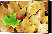 Maple Leafs Canvas Prints - Dry Fall Leaves Canvas Print by Carlos Caetano
