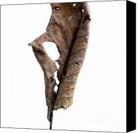Cut Out Canvas Prints - Dry leaf Canvas Print by Bernard Jaubert