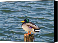 Wooden Post Canvas Prints - Duck Standing On Stake Canvas Print by Xstreephoto