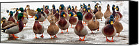 Winter Canvas Prints - DuckOrama Canvas Print by Bob Orsillo
