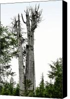 Big Tree Canvas Prints - Duncan Memorial Big Cedar Tree - Olympic National Park WA Canvas Print by Christine Till