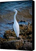 Digiart Canvas Prints - Eager Egret Canvas Print by DigiArt Diaries by Vicky Browning