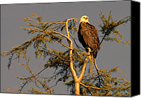 Eagle Watching Canvas Prints - Eagle at Sunset Canvas Print by Lawrence Christopher