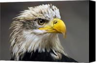 Bald Canvas Prints - Eagle Canvas Print by Harry Spitz