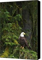 Eagle Watching Canvas Prints - Eagle In The Woods Canvas Print by Richard Wear