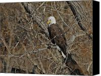 Bald Eagle Canvas Prints - Eagle in Tree 3 Canvas Print by Ernie Echols