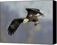 Nature Photo Canvas Prints - Eagle Power Dive Canvas Print by William Jobes