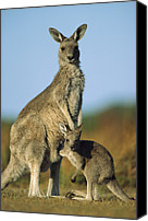 Reaching Canvas Prints - Eastern Grey Kangaroo And Her Joey Canvas Print by Ingo Arndt