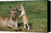 Joey Canvas Prints - Eastern Grey Kangaroo And Joey Canvas Print by Cyril Ruoso