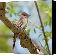 Eastern Wood-pewee Canvas Prints - Eastern Wood-pewee.. Canvas Print by Nina Stavlund
