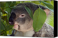 Koala Canvas Prints - Eat your Greens Canvas Print by Mike  Dawson