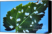Eaten Canvas Prints - Eaten Leaf Canvas Print by Kaye Menner