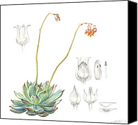 Floral Drawings Canvas Prints - Echeveria spp. Canvas Print by Logan Parsons