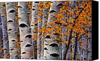 Birch Canvas Prints - Effulgent October Canvas Print by Johnathan Harris