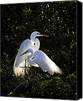 Great Egret Canvas Prints - Egret Ecstasy  Canvas Print by Rob Travis