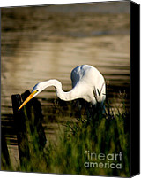 Great Egret Canvas Prints - Egret Fishing Canvas Print by Joan McCool