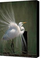 Great Egret Canvas Prints - Egret in Mating Regalia Canvas Print by Bonnie Barry