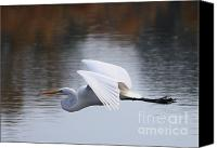 Great Egret Canvas Prints - Egret over Winter Pond Canvas Print by Carol Groenen