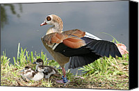 Ducks Pyrography Canvas Prints - Egyptian Goose Stretching.. Canvas Print by Valia Bradshaw
