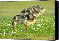 Goose Canvas Prints - Egyptian Goslings Canvas Print by Pallab Seth