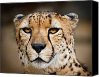 Acinonyx Canvas Prints - Elegant and Intense Canvas Print by Carl Jackson
