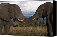 Caress Canvas Prints - Elephant Caress Botswana Canvas Print by David Kleinsasser