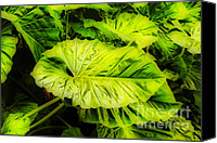 Tropical Plants Canvas Prints - Elephant Ears Canvas Print by Cheryl Young
