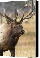 Elk Canvas Prints - Elk Approach Canvas Print by John Blumenkamp
