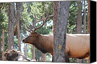 David Dunham Canvas Prints - Elk Profile 2 Canvas Print by David Dunham