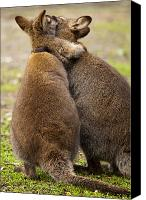 Wallaby Canvas Prints - Embrace Canvas Print by Mike  Dawson