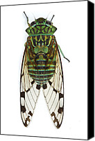 Cicada Canvas Prints - Emerald Cicada Barbilla Np Costa Rica Canvas Print by Piotr Naskrecki